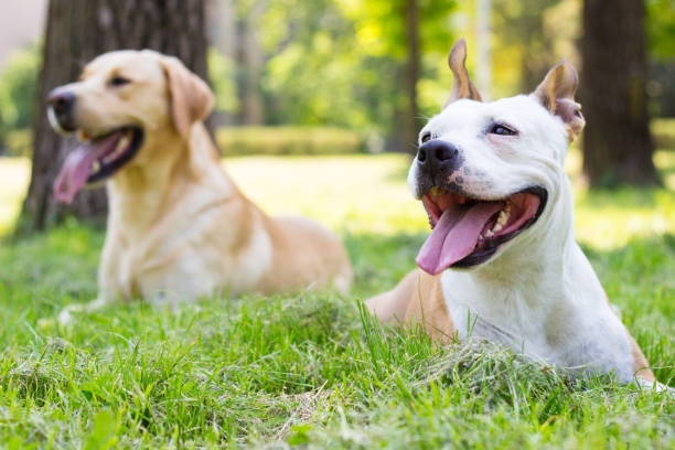 Happy dog friends Happy dog friends playing in the park animal saliva stock pictures, royalty-free photos & images