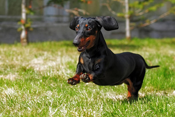 happy dog German haired dwarf Dachshund playing in the back happy dog German haired dwarf Dachshund playing in the back yard, running and jumping in the summer on the grass dachshund stock pictures, royalty-free photos & images
