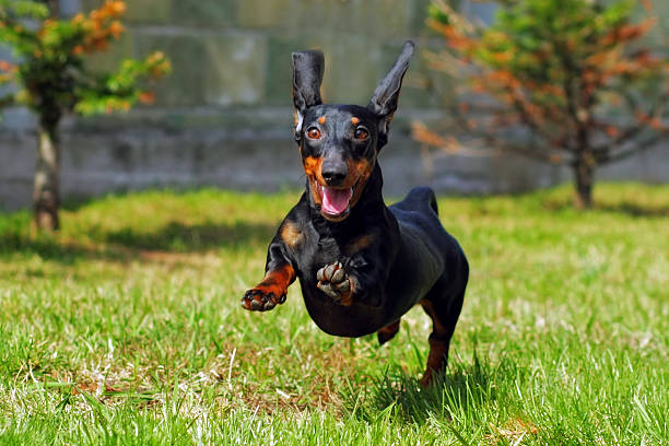 happy dog german haired dwarf dachshund playing in the back - téckel photos et images de collection