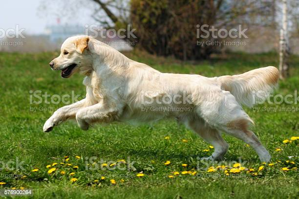 Happy dog golden retriever jumps picture id576900264?b=1&k=6&m=576900264&s=612x612&h= lo9k4paow6hg7hjuwonopqpobs1fjb4afesiqi4zqo=