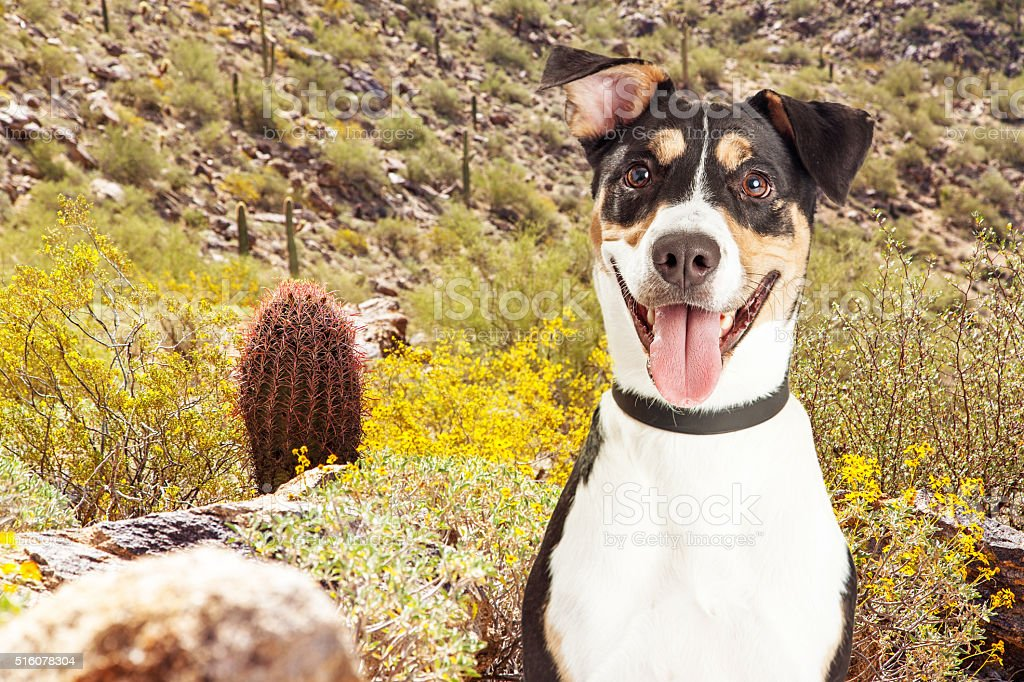 Happy Dog Hiking in Arizona Desert stock photo