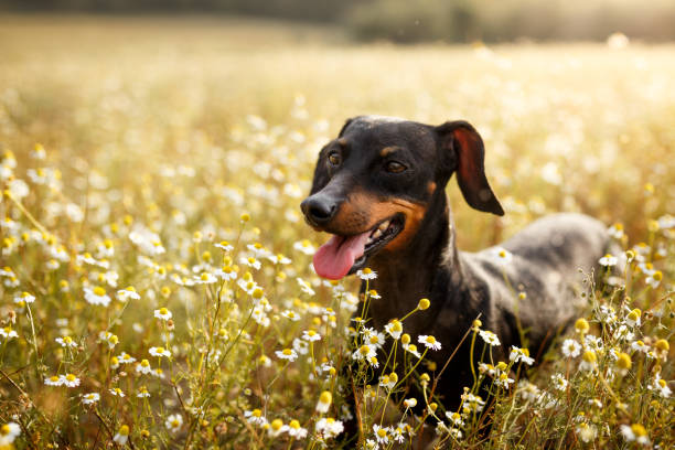 Happy dog in a chamomile field A happy black dachshund dog running in a chamomile field dachshund stock pictures, royalty-free photos & images