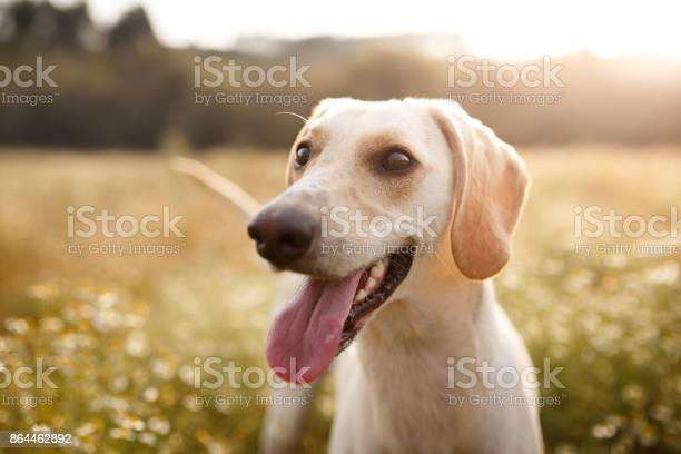 Happy dog in a chamomile field picture id864462892?b=1&k=6&m=864462892&s=612x612&h=qmmar0trh0q6lgvmqjhnqi nlpl 0l9icfe0mvkfffa=