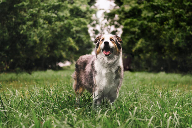 Happy Dog in a Field A happy Australian Shepherd in a green field. australian shepherd stock pictures, royalty-free photos & images