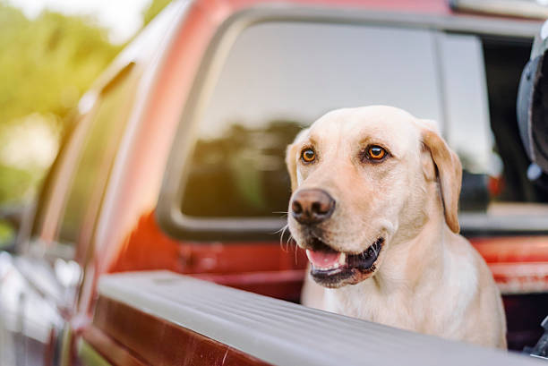 happy dog in back of truck waiting for summer ride stock photo