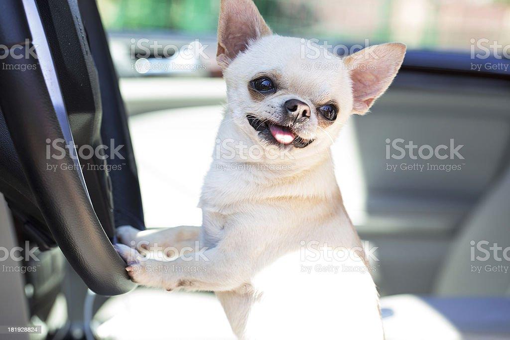 happy dog in car stock photo