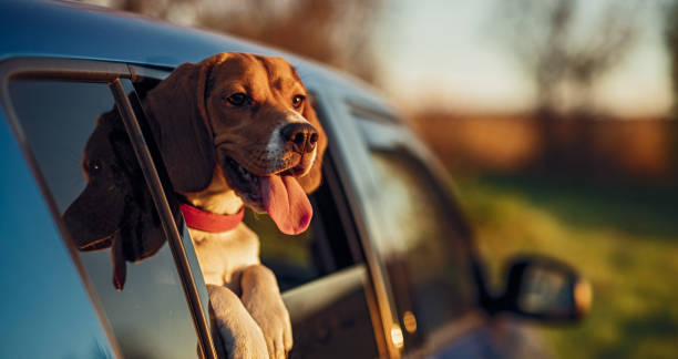 Happy dog in car window in nature stock photo