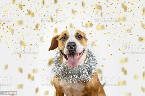 Happy dog in christmas tinsel and confetti background picture id1079193658?b=1&k=6&m=1079193658&s=612x612&h=zcfdt19kqmuoekfyneopqnr t7y7vzhr obgqru9vbe=