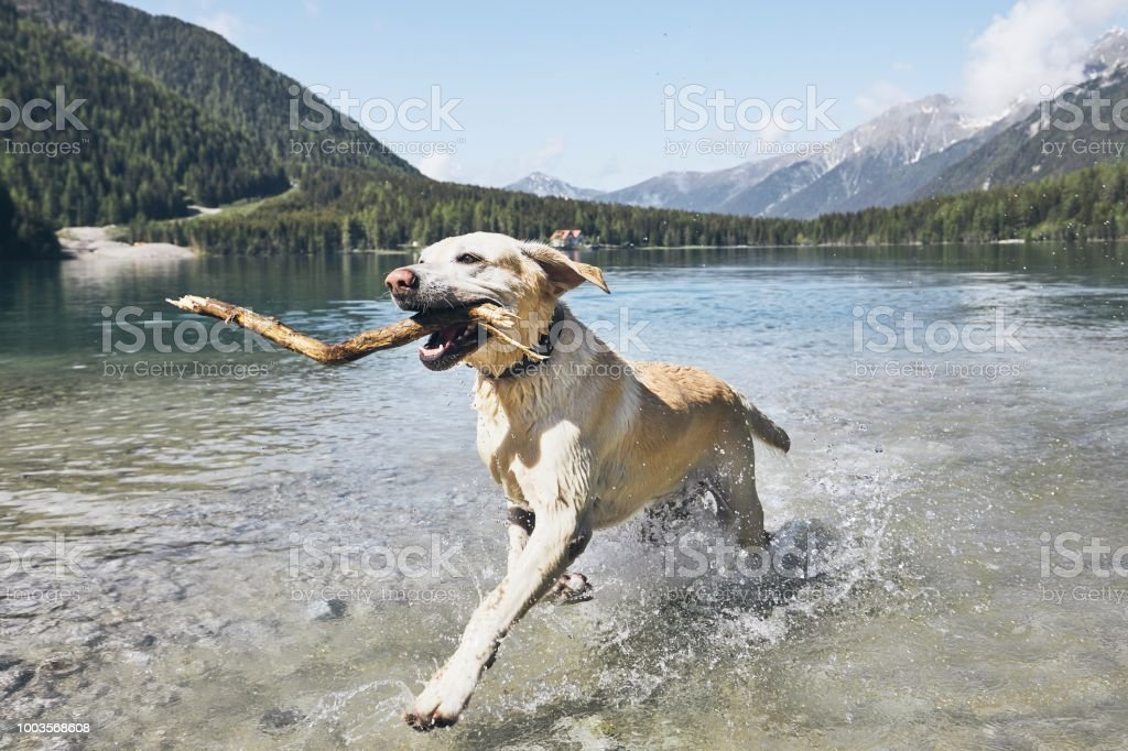 Happy dog in mountains stock photo