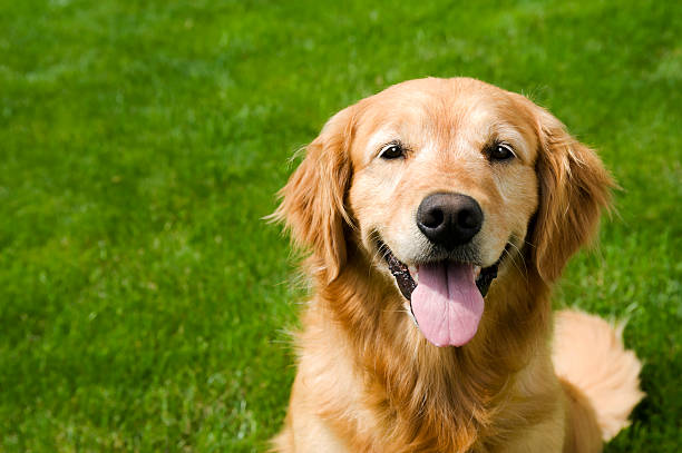 happy dog in sitting on grass - golden retriever - golden retriever stock photos and pictures