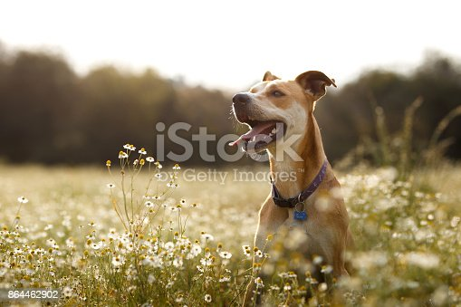 A happy dog in the chamomile fields