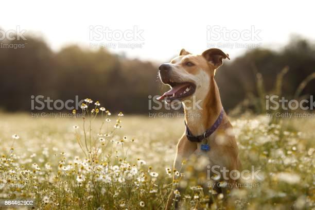 Happy dog in the fields picture id864462902?b=1&k=6&m=864462902&s=612x612&h=7g5e1sxoufgd3vkka16k sny0zzqkyzqnacfqutpf8c=