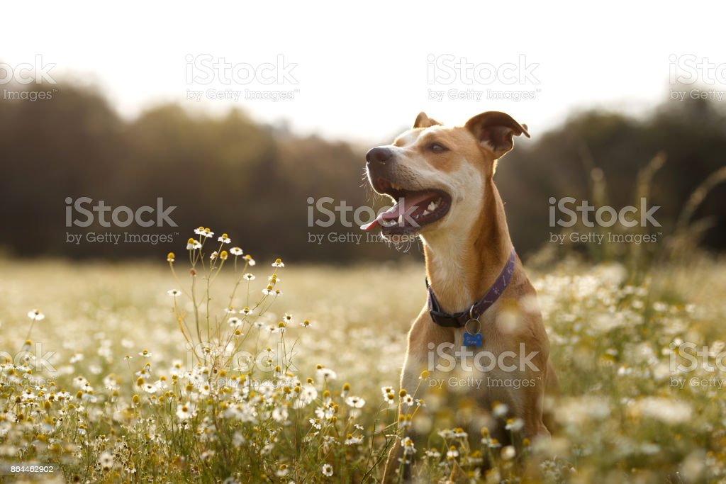 Happy dog in the fields stock photo