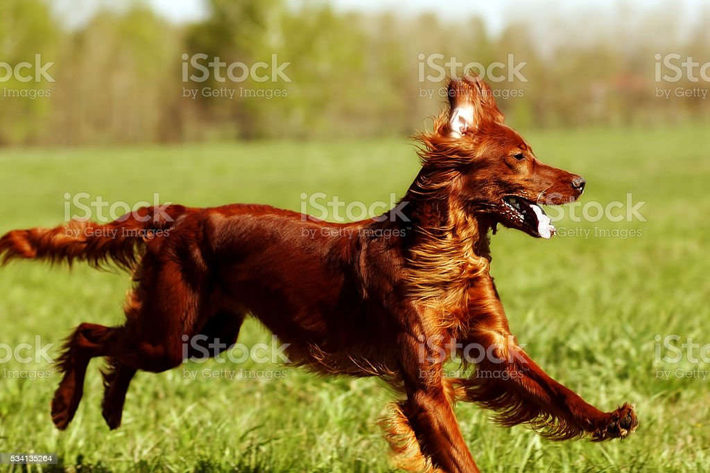 happy dog Irish setter jumping stock photo