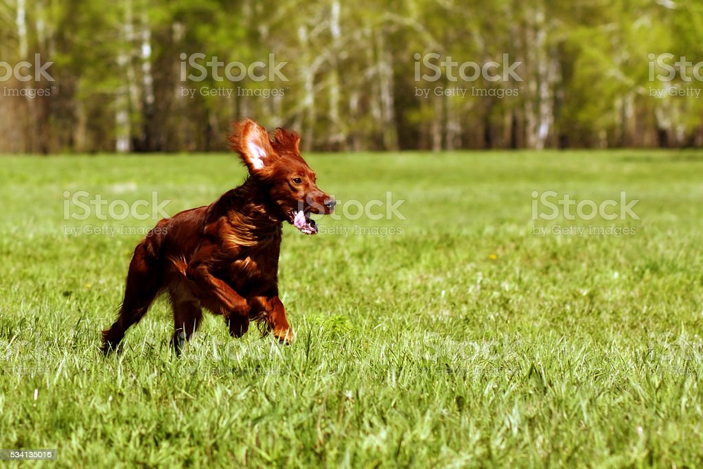 happy dog Irish setter running stock photo