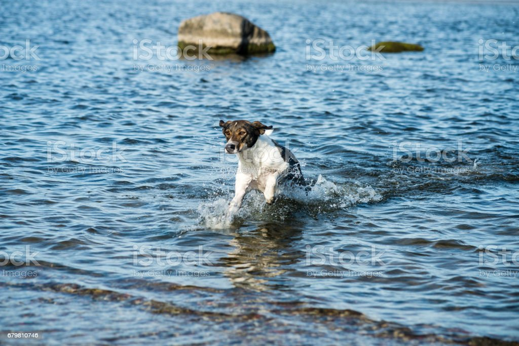 happy dog is playing in the water stock photo