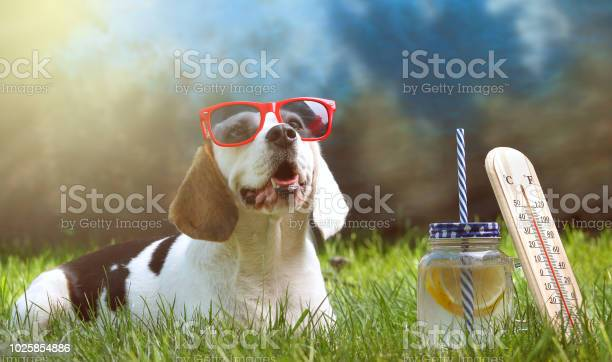 Happy dog lying on grass and feels warm with sunglasses and lemonade picture id1025854886?b=1&k=6&m=1025854886&s=612x612&h=senxnprz8zaodx3pt5kmg3wzqv15l5qgh6as2w wz9e=