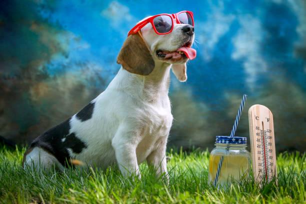 Happy dog lying on grass and feels warm with sunglasses and lemonade picture id1150427536?b=1&k=6&m=1150427536&s=612x612&w=0&h=bi8xyvls7vaujyklcgwfvzcu37ie3u83p a9sslbms0=