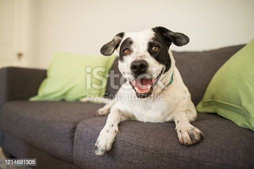 Spotted mixed breed dog smiling at the camera sitting on a sofa