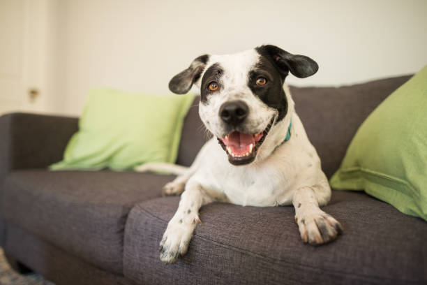 Happy dog on a couch stock photo