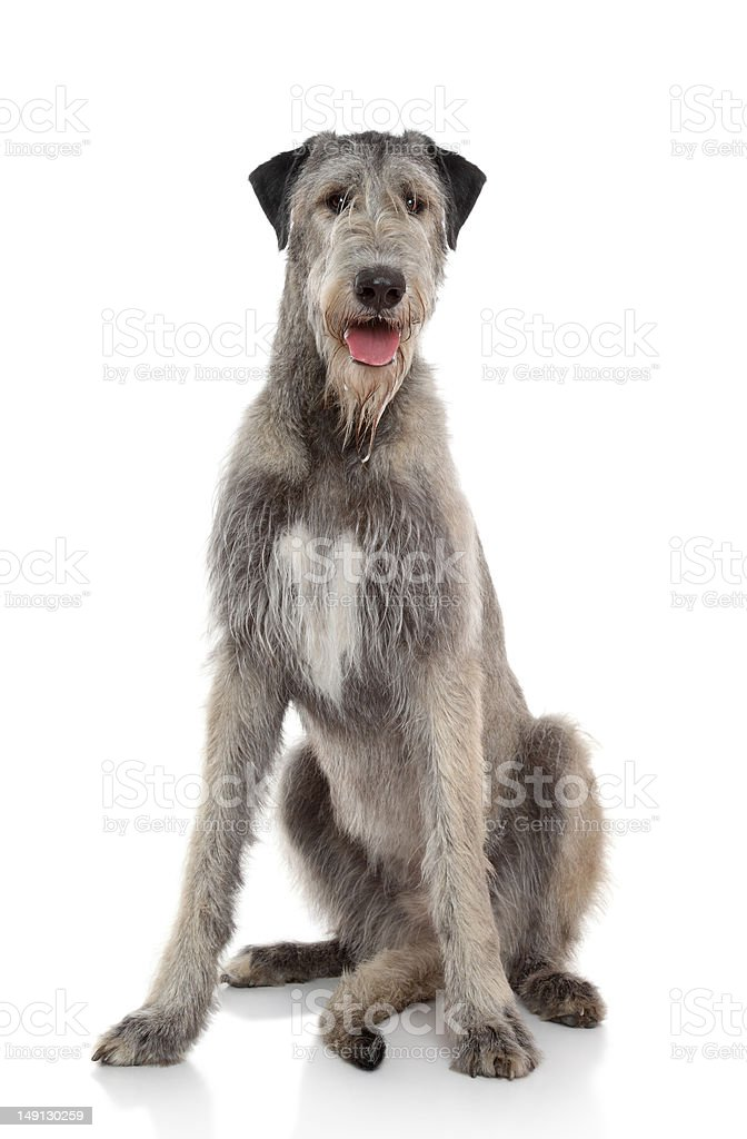 A happy dog on a white background stock photo