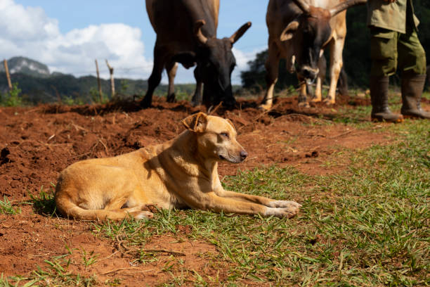 happy dog on cuban cattle farm - katiedobies stock pictures, royalty-free photos & images
