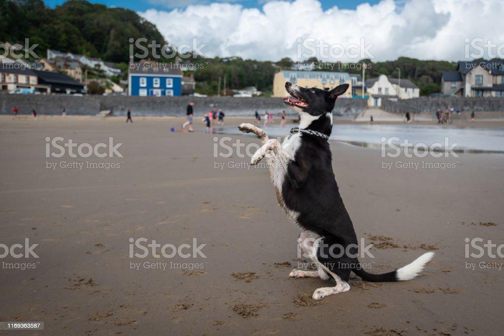 Happy dog enjoying freedom on a dog friendly beach in Pendine, Wales,...