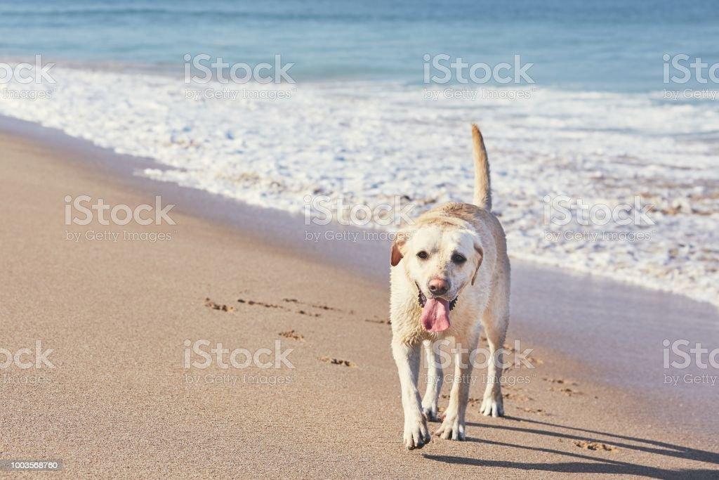 Happy dog on the sand beach stock photo