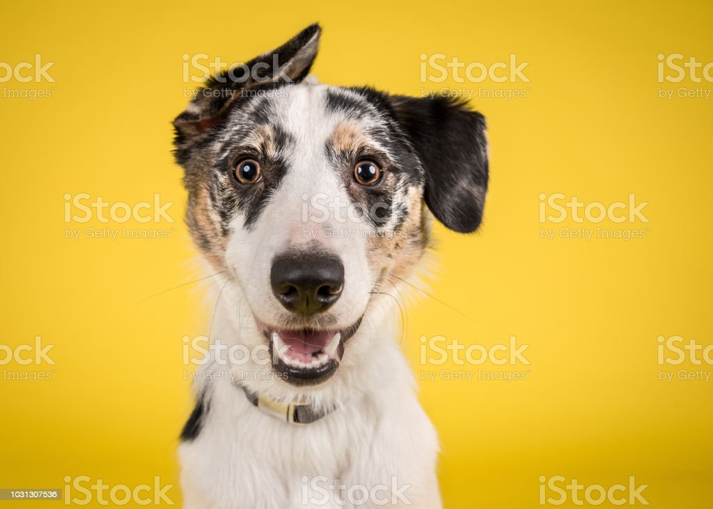 Happy Merle Crossbreed Collie Dog Portrait on Yellow Studio Background