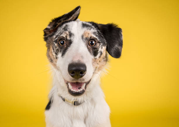 happy dog on yellow background - dog stock pictures, royalty-free photos & images