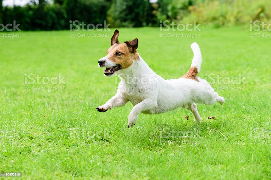 Happy dog pet running on a lawn stock photo