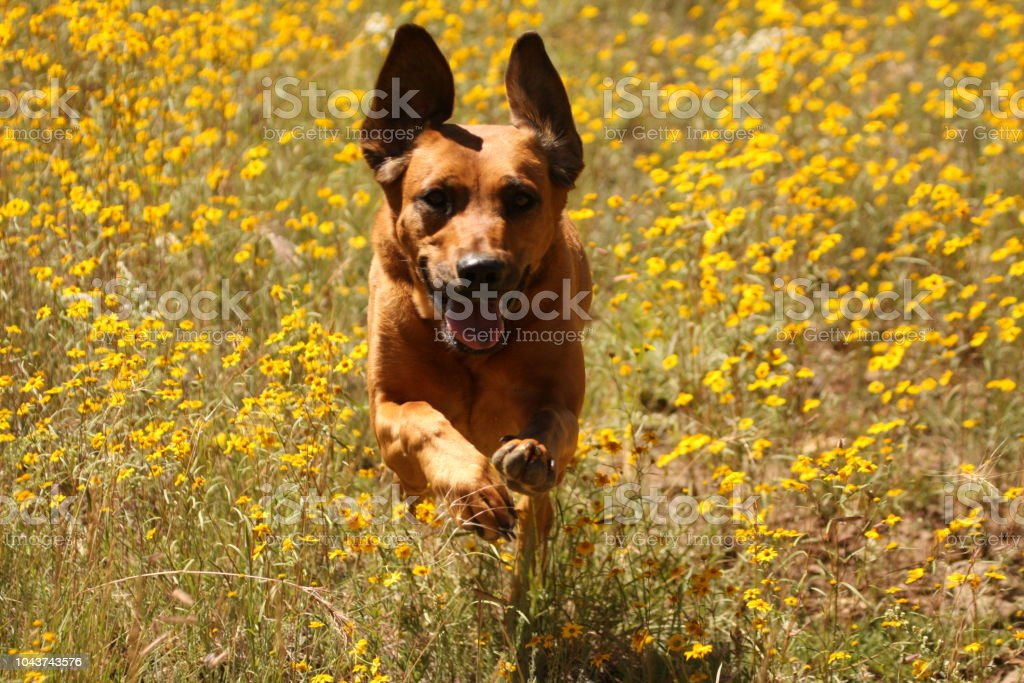 Happy dog! Happy dog running through flowers. Animal Stock Photo