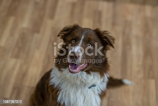 A cute border collie dog is looking upwards excitedly while sitting on the floor.