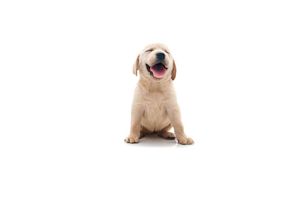 happy dog little labrador is sitting retriever stock pictures, royalty-free photos & images