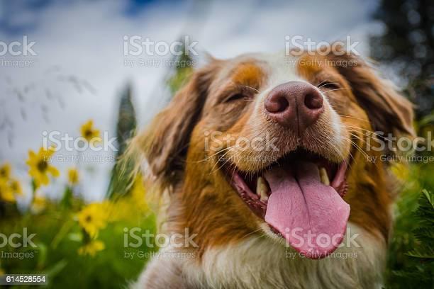 Happy dog picture id614528554?b=1&k=6&m=614528554&s=612x612&h=8l8yxndje5jb0vapvi onz yr6uhbl5yq5ghz4ragbu=