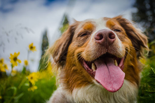Happy Dog Australian Shepherd showing her happiness during springtime in Colorado.  australian shepherd stock pictures, royalty-free photos & images