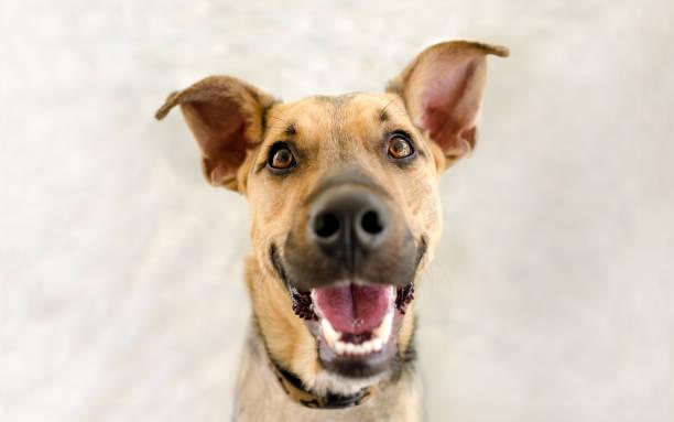 Happy dog picture id857301274?b=1&k=6&m=857301274&s=612x612&w=0&h=fyvmpzmyiw18nw0 stgwwih3jp4opdicwqid5fxuhog=