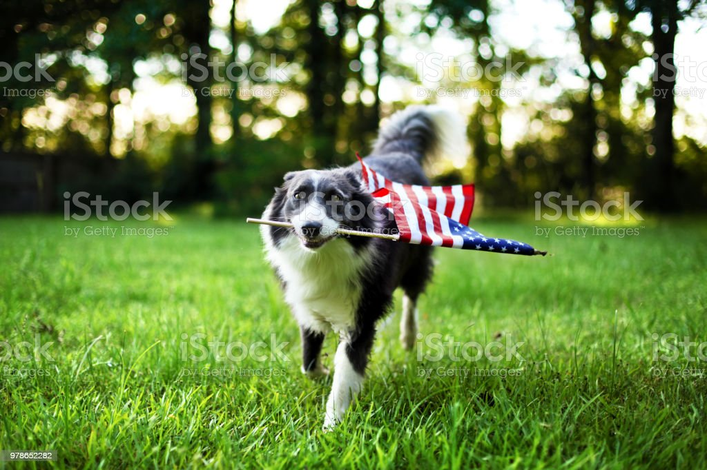 Happy dog playing outside and carrying the American flag stock photo