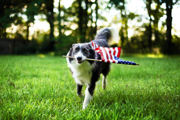 happy dog playing outside and carrying the american flag - independence day стоковые фото и изображения