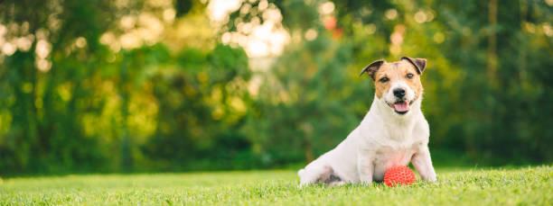 Gelukkige hond spelen met bal zittend op achtertuin gazon (panoramisch gewas) foto