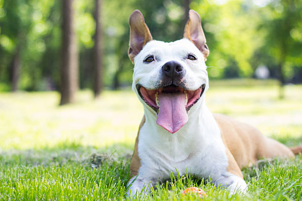 Happy Dog Portrait Portrait of happy and cute American Staffordshire Terrier animal saliva stock pictures, royalty-free photos & images