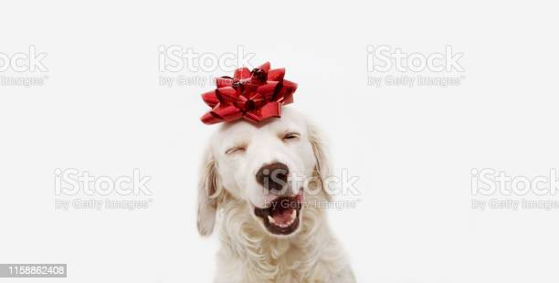 Happy dog present for christmas birthday or anniversary wearing a red picture id1158862408?b=1&k=6&m=1158862408&s=612x612&h=vnatjkz9awwwmbkc2rf4qj3uecezr1bejgqrgut2w3y=