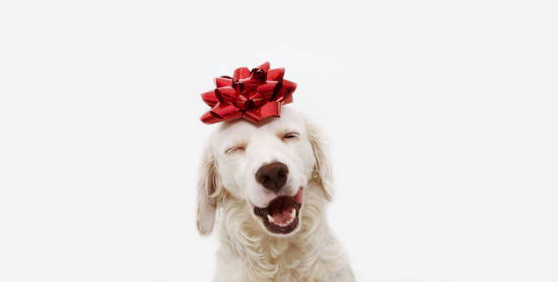 Happy dog present for christmas birthday or anniversary wearing a red picture id1158862408?b=1&k=6&m=1158862408&s=612x612&w=0&h=qc9dzxmqk7cmnulo2y8ufgswt2ec4tlvauall644isw=