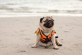 Happy dog pug breed wearing life jacket and sitting on beach feeling so happiness and fun vacations on the beach,Dog vacations Concept