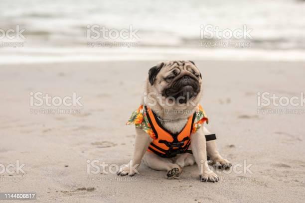 Happy dog pug breed wearing life jacket and sitting on beach feeling picture id1144606817?b=1&k=6&m=1144606817&s=612x612&h=t ynjb0lwfimc oz0j4bdtwgc0uwyjpxy4bq5lbcg34=
