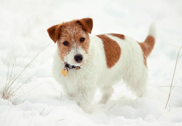 Happy dog puppy looking in the snow in winter christmas picture id1084534008?b=1&k=6&m=1084534008&s=612x612&w=0&h=gl7cjlufbxbn3f186iofuzltxcabwqhvvdhjw9iqakk=