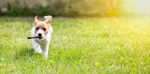 Happy dog puppy running with a stick picture id970395350?b=1&k=6&m=970395350&s=612x612&w=0&h=zeie1ldtppvohyhr22ktputbbqdfu3gjixfjlcny4jo=
