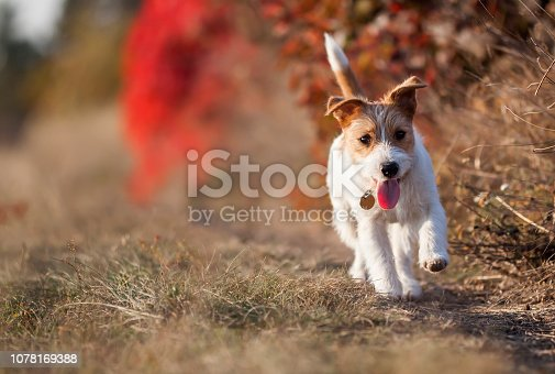 1053642922 istock photo Happy dog puppy walking in the grass 1078169388
