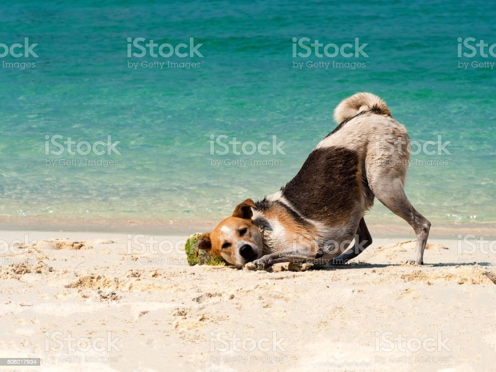 Happy dog put it head on sand beach with the beautiful sea background. Black and white funny dog playing on beach at sea in summer time. stock photo