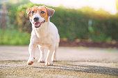 幸せな犬は庭で散歩をリラックス